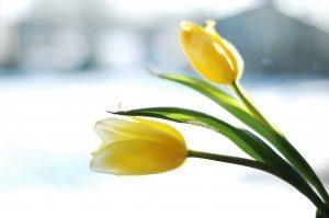 zolte tulipany